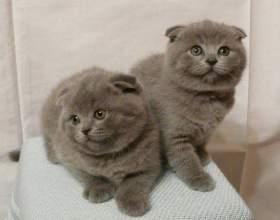 Уход за шотландским вислоухим котенком: что нужно знать фото