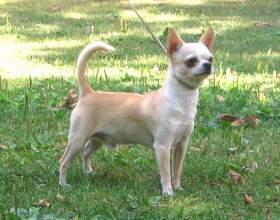 Уход за собакой породы чихуахуа фото