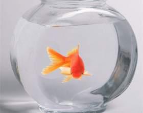 В какой аквариум поселить золотую рыбку? фото