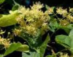 Варенье из цветков липы фото