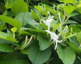 Вьющиеся растения для сада: жимолость каприфоль фото