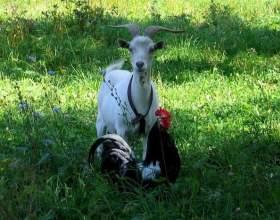 Восточный гороскоп совместимости: петух и коза фото