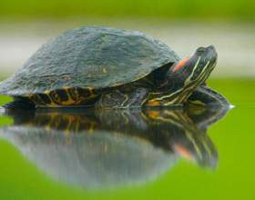 Впадают ли в спячку красноухие черепахи фото