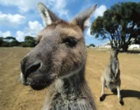 Все о кенгуру как о животном фото