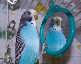 Зачем попугай смотрит в зеркало фото